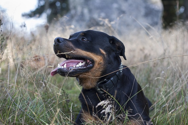 Ear Infections: A Common Health Issue in Rottweilers