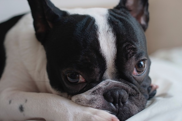 4 Tips to Help You Train Your French Bulldog